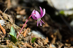 Erythronium dens canis. Flower close up Stock Images