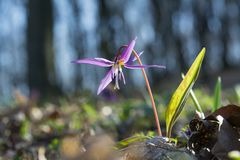 Erythronium dens-canis with selsctive focus Royalty Free Stock Images