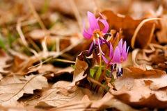 Erythronium flower Stock Images