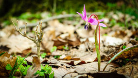 Erythronium hol-canis Stock Foto