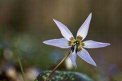 Erythronium hol-canis - het viooltje van holencanis Stock Fotografie