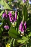 Erythronium japonicum Royalty Free Stock Photography
