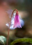 Erythronium melin canis Zdjęcie Royalty Free