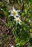 Erythronium montanum; Avalanche Lily; Mt Rainier National Park. Botany snow flower snow melt meadow bulb alpine subalpine Cascade Mountain Range pacific royalty free stock images