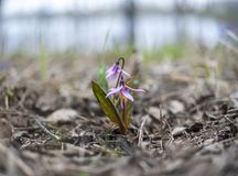 Erythronium sibiricum or fawn Lily or siberian trout lily Kandyk royalty free stock image