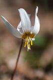 Erythronium wiosna Obrazy Royalty Free