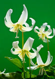 Erythronium. Yellow flowers on green background royalty free stock photography
