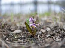 Erythroniumsibiricumen eller lismar liljan eller den siberian forellliljan Kandyk Royaltyfri Bild