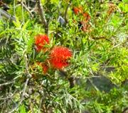 Erythrophyllum Burchell SonderShrubs Combretum, ветви, ясность, красные цветки в букет в конце ветвей Caly стоковые изображения rf