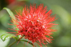 Erythrophyllum & x28 Combretum Burchell& x29  Sonder Στοκ Εικόνα