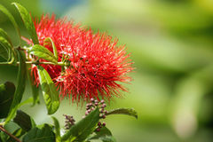 Erythrophyllum & x28 Combretum Burchell& x29  Sonder Στοκ Φωτογραφίες