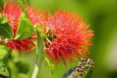 Erythrophyllum de Combretum et x28 ; Burchell& x29 ; Sonder Photographie stock