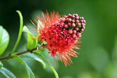 Erythrophyllum de Combretum et x28 ; Burchell& x29 ; Sonder Images stock
