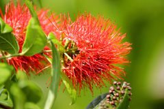 Erythrophyllum & x28 Combretum Burchell& x29  Sonder Στοκ Φωτογραφία