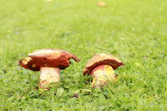 Erythropus de boletus de champignon de couche Photo stock
