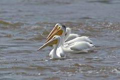 erythrorhynchos pelecanus pelikana biel Fotografia Royalty Free
