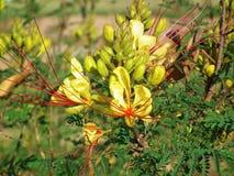 Free Erythrostemon Gilliesii , Bird Of Paradise Flower Stock Images - 197684744