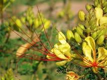 Free Erythrostemon Gilliesii , Bird Of Paradise Flower Royalty Free Stock Photography - 197684747