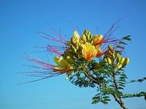 Free Erythrostemon Gilliesii , Bird Of Paradise Flower In Sky Blue Background Stock Photography - 170906012