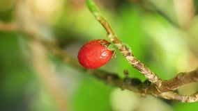 Erythroxylum coca, coca bush in a flowerpot in a tropical greenhouse, science research, plant ripe red fruit, leaf and stock video footage
