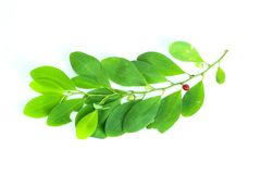 Erythroxylum coca white background in studio. Erythroxylum coca close up for Isolated royalty free stock photos