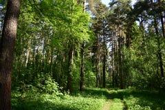 Es agradable mirar el pino y ataviar troncos delgados, de oro, inhale el aire fragante limpio, el oler de la resina imagen de archivo