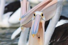Esôfago do pelicano Fotografia de Stock Royalty Free