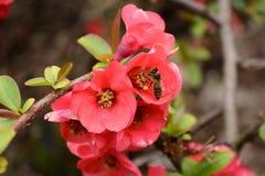 Es flores y brotes del melocotón del resorte? Fotos de archivo libres de regalías