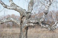 Es gibt viele Niederlassungen auf dem Suppengrün Verzweigte Birke Ein merkwürdiger Baum Interessanter Baum Birke in Russland Die  stockbild