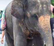 Es gibt viele Streuelefanten in Asien Stockfoto