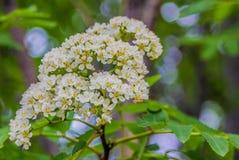 Es hora de florecer - serbal de las flores, Fotos de archivo