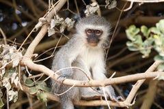 Es ist Affe zeit- Vervet-Affe Stockfotos