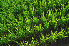 Es ist ein grüner Reislandhintergrund. Stockfoto