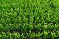 Es ist ein grüner Reislandhintergrund. Lizenzfreies Stockbild
