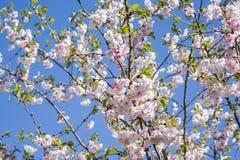 Es ist Kirschblüte in der Blüte Stockbilder