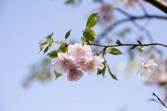 Es ist Kirschblüte in der Blüte Lizenzfreies Stockfoto