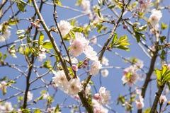 Es ist Kirschblüte in der Blüte Lizenzfreie Stockbilder