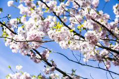 Es ist Kirschblüte in der Blüte Stockfoto