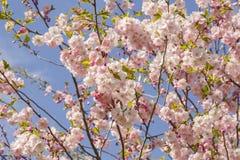 Es ist Kirschblüte in der Blüte Stockbild