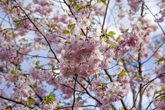 Es ist Kirschblüte in der Blüte Lizenzfreie Stockfotos