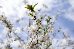 Es ist Kirschblüte in der Blüte Stockfotos