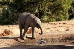 Es ist mein Wasser der afrikanische Bush-Elefant Stockbild