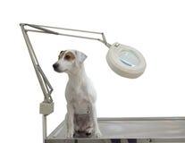 Es un pequeño perro lindo Foto de archivo libre de regalías