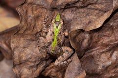Es wird in Costa Rica, in Nicaragua und in Panama gefunden Stockbilder