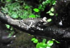 Es wird in Costa Rica, in Nicaragua und in Panama gefunden lizenzfreies stockbild