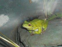 Es wird in Costa Rica, in Nicaragua und in Panama gefunden Stockbild