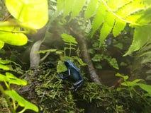 Es wird in Costa Rica, in Nicaragua und in Panama gefunden it& x27; s-Blau Lizenzfreies Stockbild