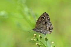 Esaki corrugated snake mesh butterfly Stock Image