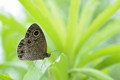 Esaki corrugated snake mesh butterfly Stock Images