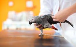 Esame e diagnosi del pappagallo di gray africano in veterinario infirmar immagini stock